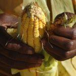 Zambia: Bumper Harvest – FRA Receives 200,000 Grain Bags